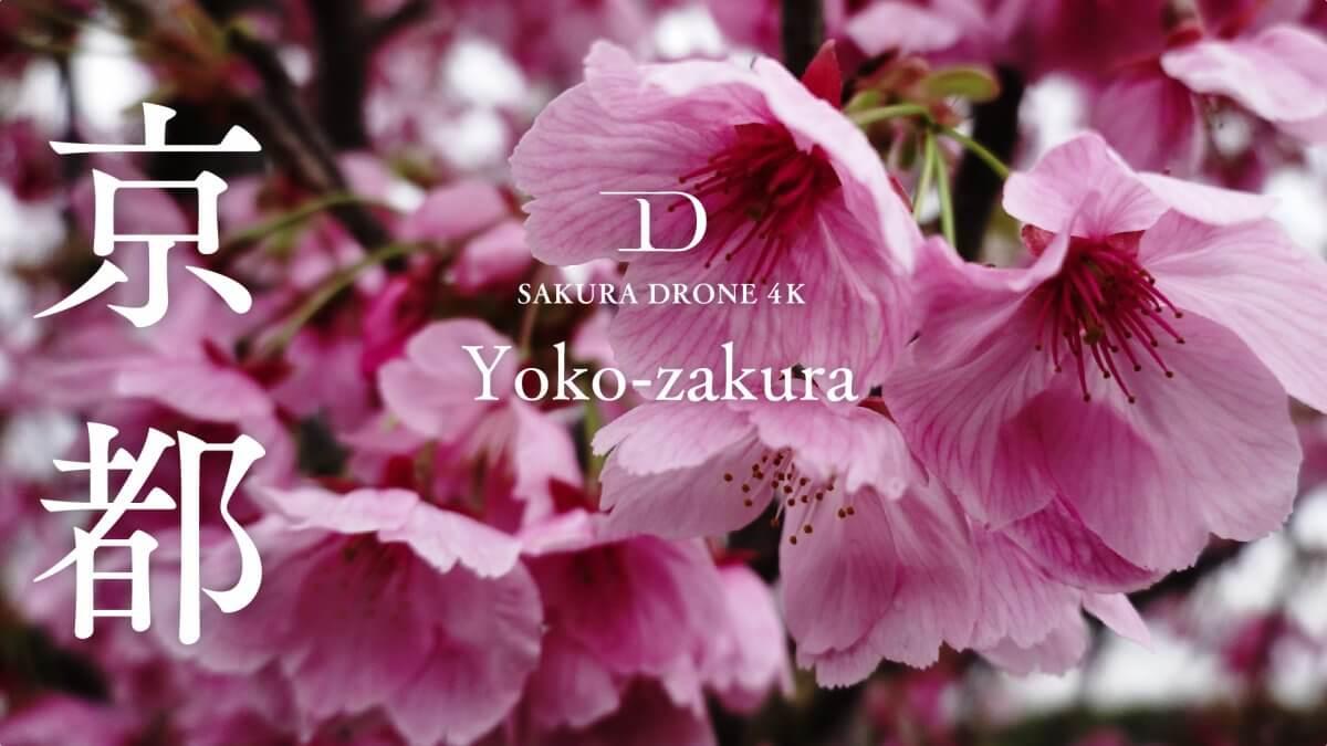 田辺木津川つつみ緑地の桜(京都府京田辺市)|桜ドローンプロジェクト2020