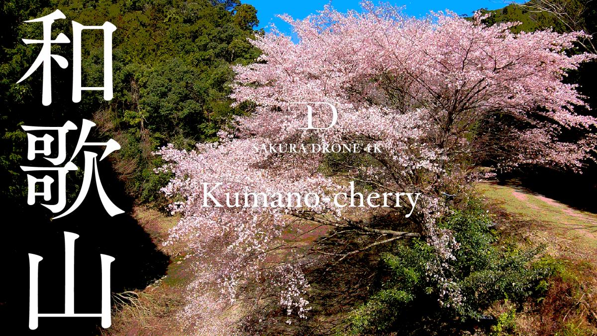 和歌山県古座川のクマノザクラ|桜ドローンプロジェクト2020