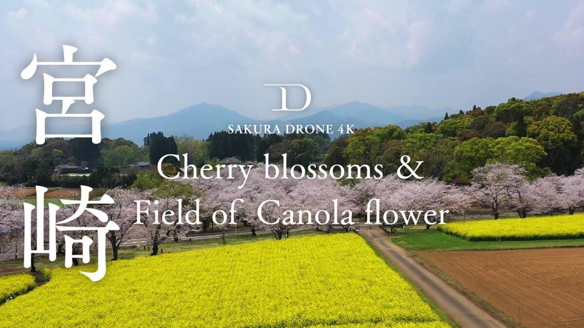 西都原古墳群の桜(宮崎県西都市)|桜ドローンプロジェクト2020
