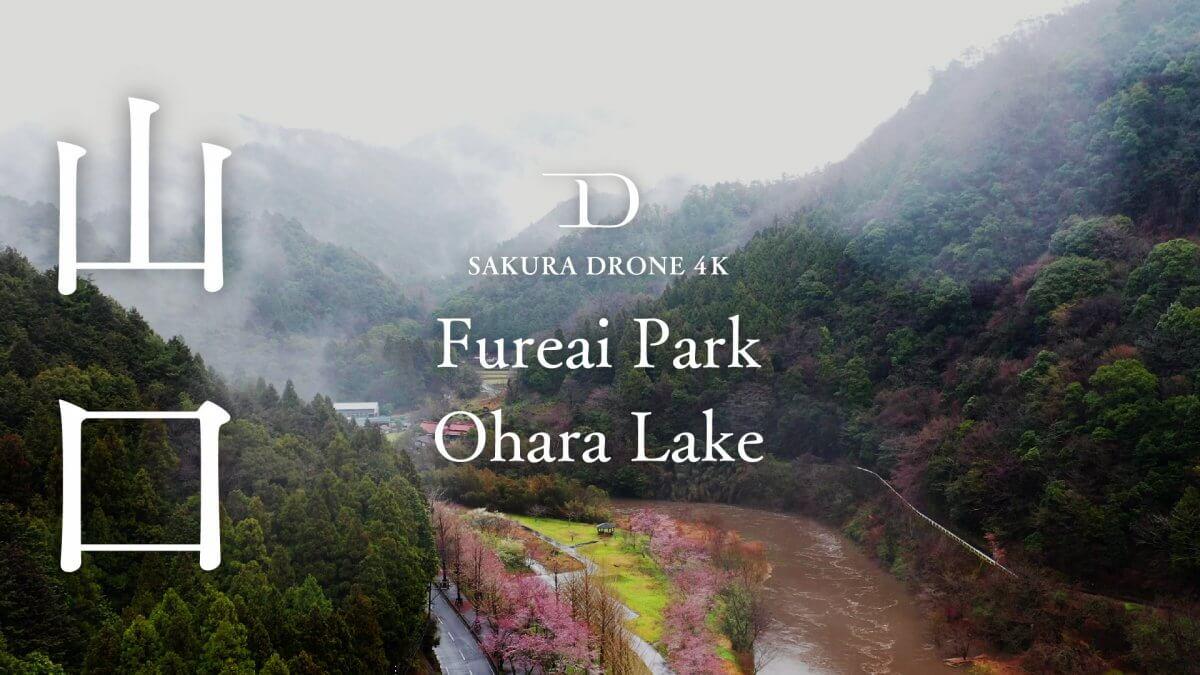 大原湖の桜(山口県山口市)|桜ドローンプロジェクト2020