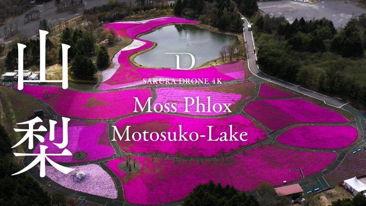 山梨県富士本栖湖リゾートのシバザクラ(芝桜)|桜ドローンプロジェクト2020