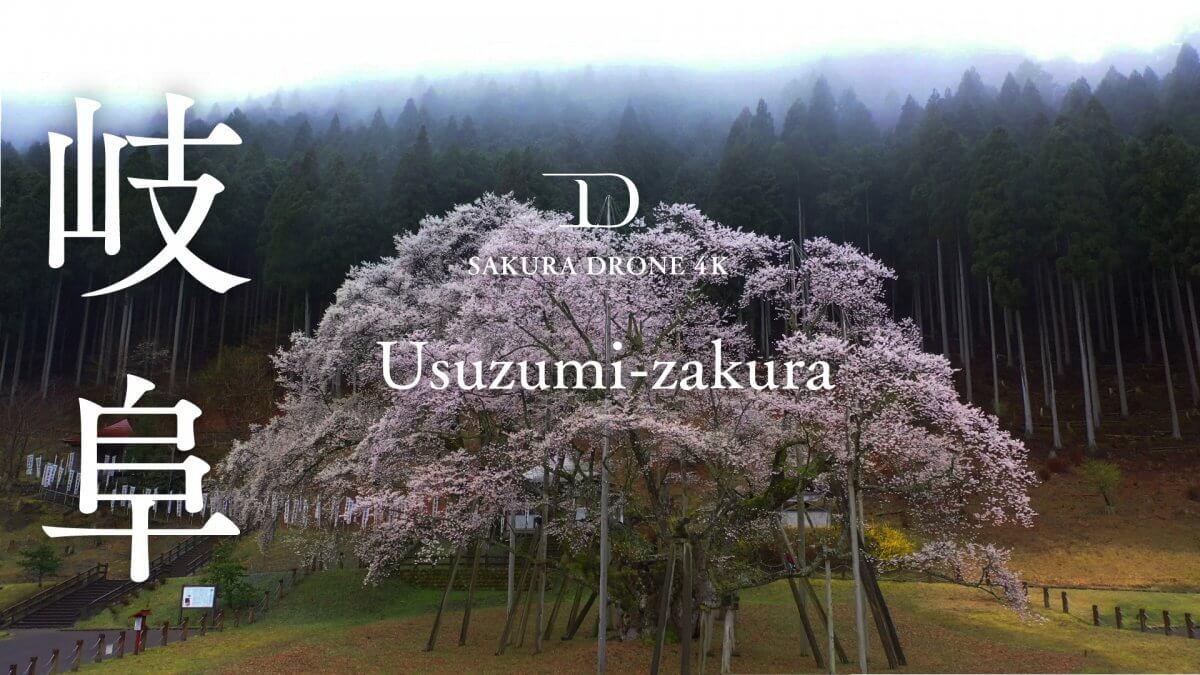 岐阜県本巣市の淡墨桜(うすずみざくら)|桜ドローンプロジェクト2020