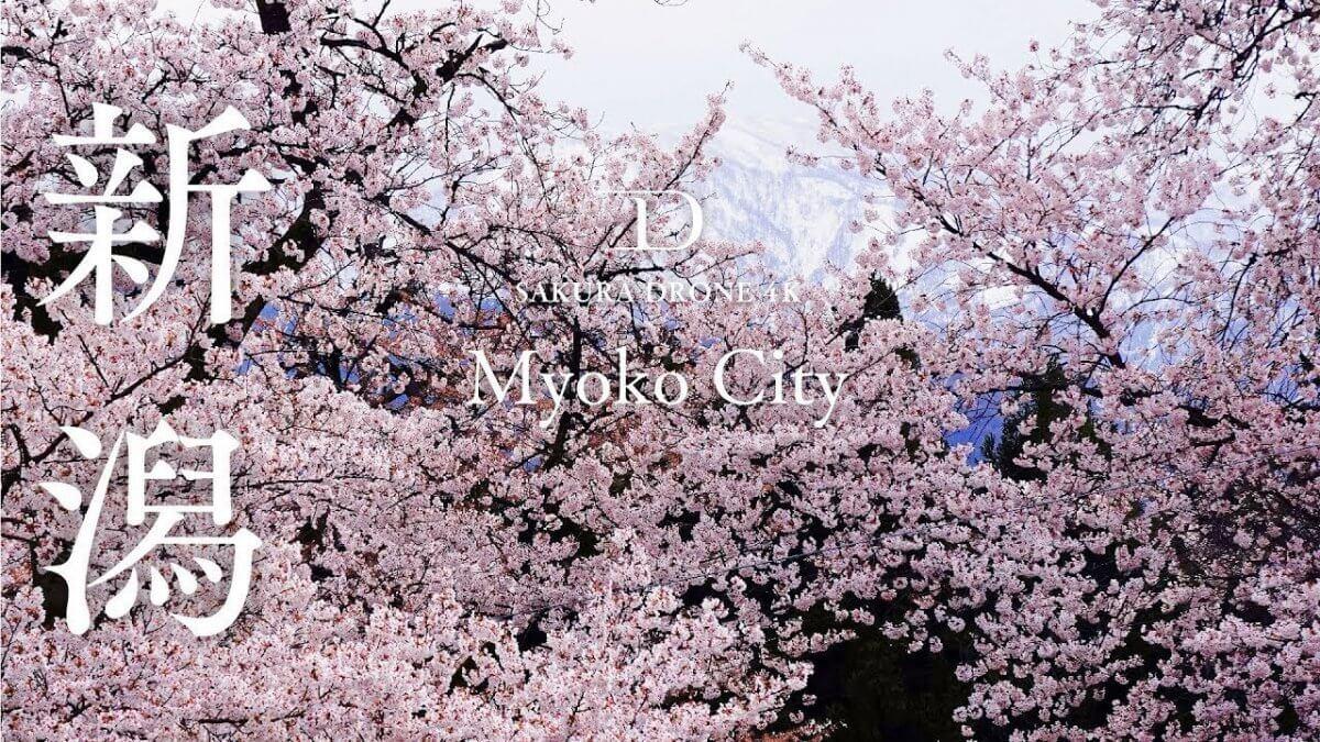 経塚山公園の桜(新潟県妙高市)|桜ドローンプロジェクト2020