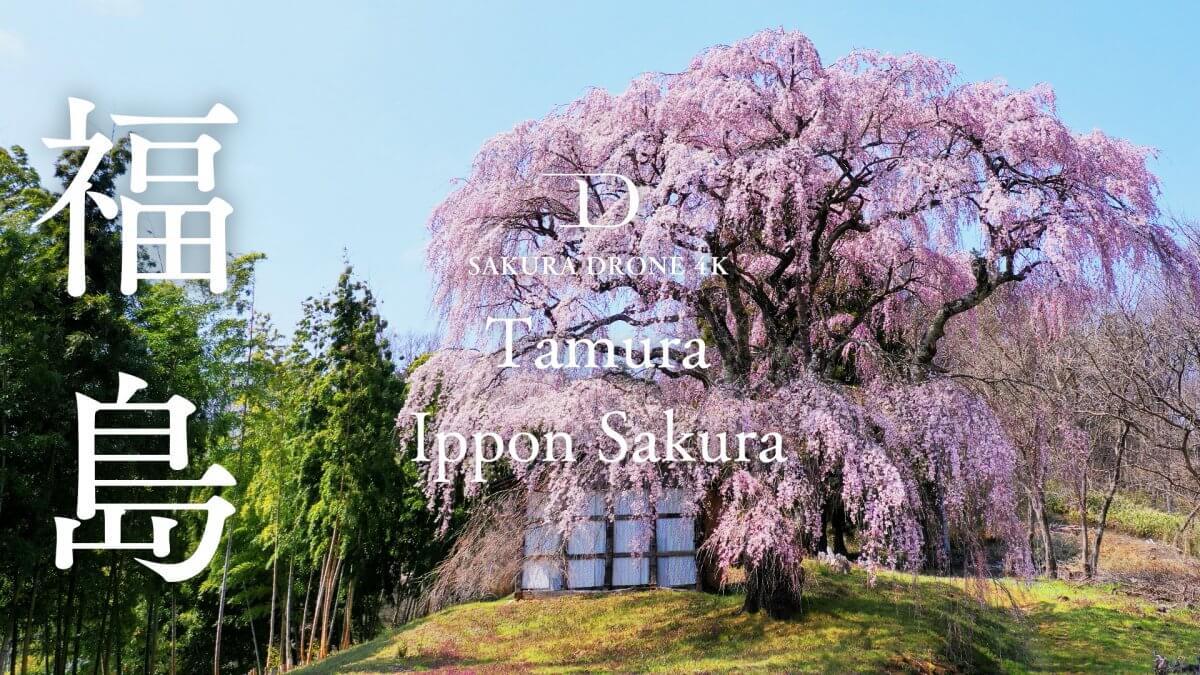 永泉寺のシダレザクラ(福島県田村市)|桜ドローンプロジェクト2020