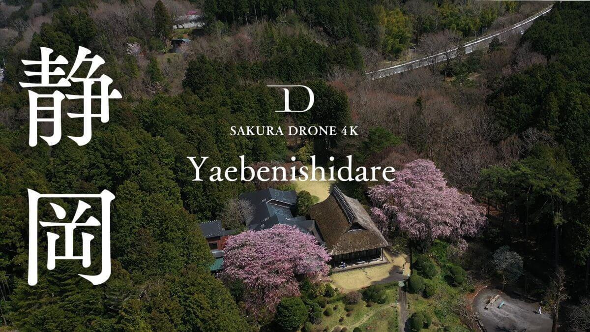 静岡県御殿場市のヤエベニシダレ(八重紅枝垂)|桜ドローンプロジェクト2020