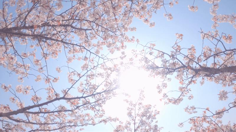世界遺産の吉野山の桜の中からドローンで撮影