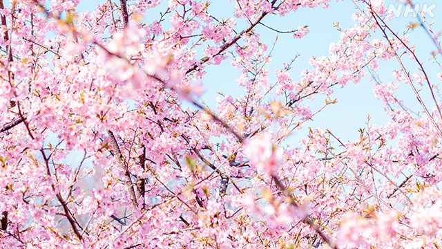 NHK「WEBニュース」に「オンライン花見」が紹介されました !