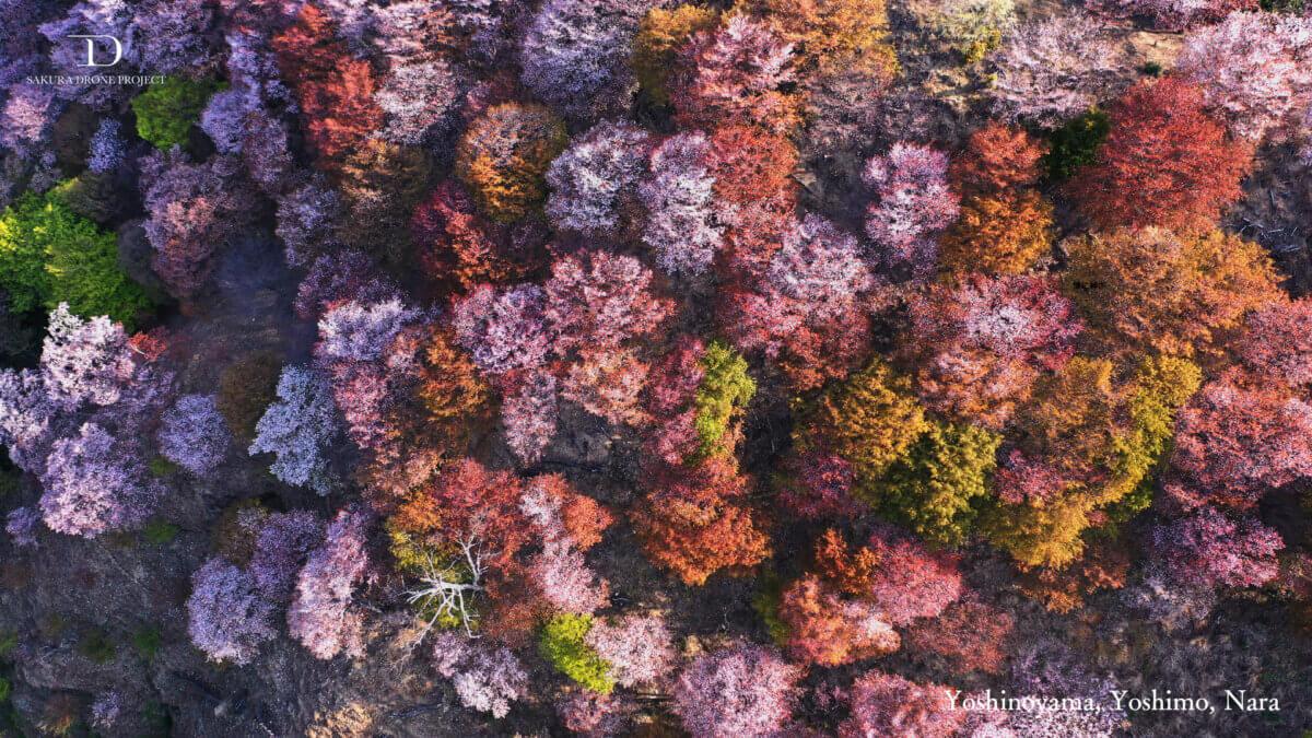 2021年のオンライン花見に。桜のバーチャル背景を無料提供!